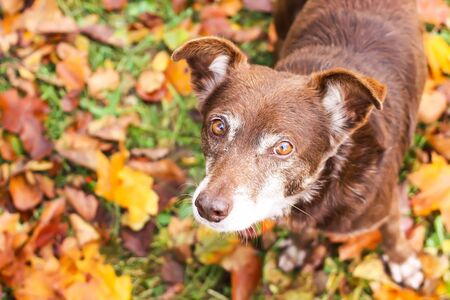 A mongrel dog on meadow with fall yellow leaves in autumn park close up