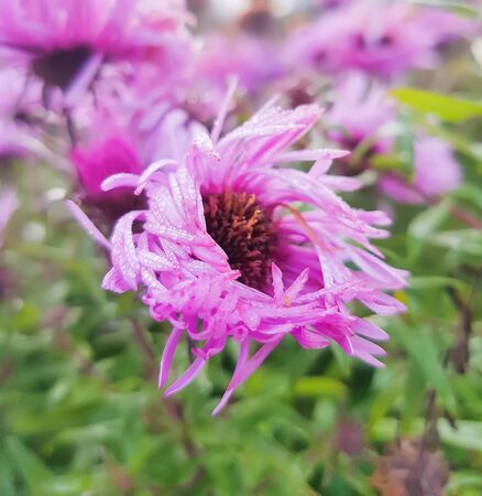 Small purple asters autumn flowers