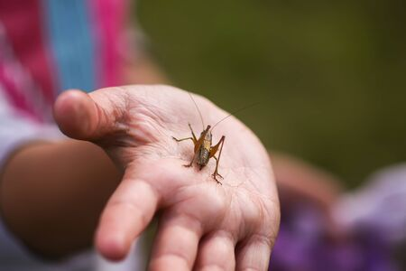 Tettigonioidea or grasshopper green insect in the hand of child exploring summer nature in countryside