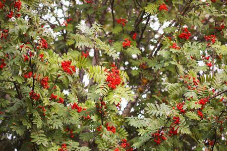 Bright ripe Rowan berries illuminated by the sunset sun beams. Forest nature details in august.