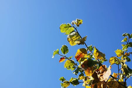 Colorful leaves outdoors on blue clear sky background in countryside. Autumn nature seasonal details 스톡 콘텐츠