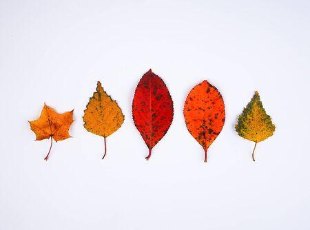 Closeup of colorful autumn leaf on white background. 版權商用圖片