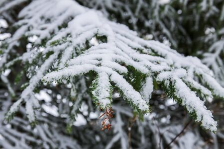 Snow covered fir trees in cold winter day. Seasonal nature in East Europe