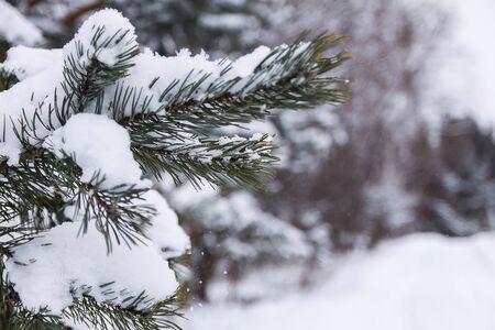 Eergreen pine tree branches in snow in winter park 写真素材