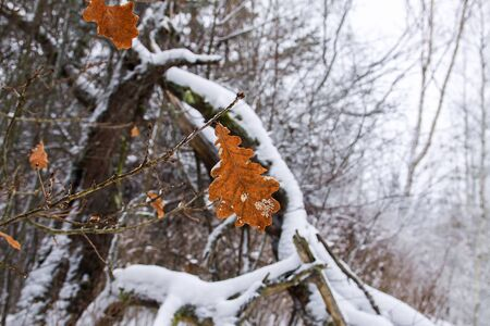 Oak leaves on tree branches in snow in winter forest