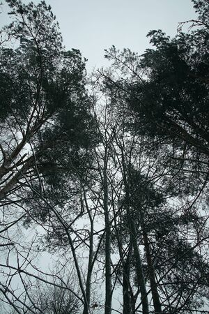 Tree tops in winter forest on sky background