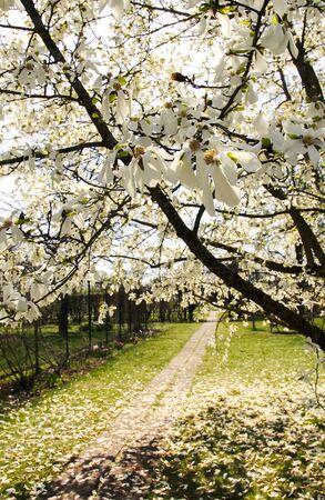 Beautiful spring magnolia tree blossom in park. 版權商用圖片