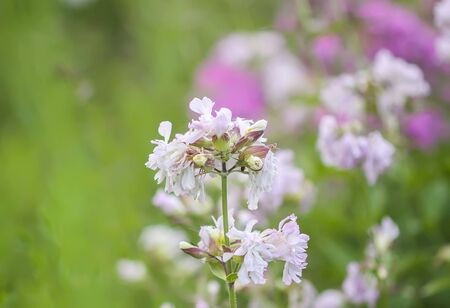 Saponaria officinalis white flowers in summer garden. Common soapwort, bouncing-bet, crow soap, wild sweet William plant.