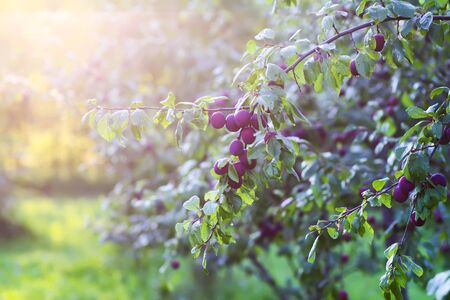 Plum tree branches with ripe sweet juicy fruits in sunset light in countryside
