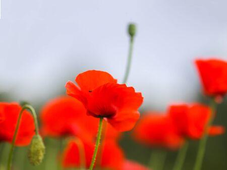 Feld der roten Mohnblumen. Papaver somniferum-Pflanzen.