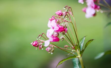 Impatiens Glandulifera Royle, Himalayan Balsam, Kiss-me-on-the-mountain or Policemans Helmet plant with pink flowers.