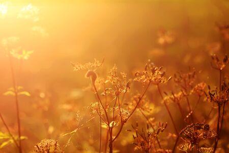 Fiori di campo sul prato nella calda luce dorata del tramonto in estate.