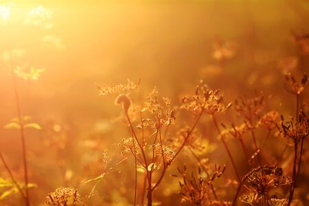 Wildflowers on meadow in warm golden sunset light at summer.