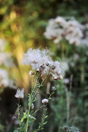 White fluffy agrimony plant in rural field. Banque d'images