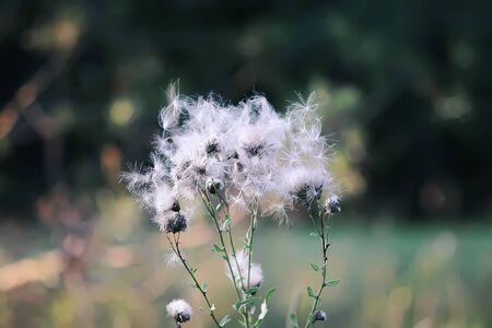 Usine d'aigremoine duveteuse blanche dans le domaine rural.