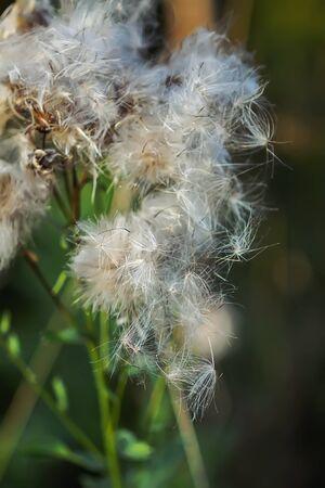 Usine d'aigremoine duveteuse blanche dans le domaine rural. Banque d'images