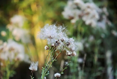 White fluffy agrimony plant in rural field.