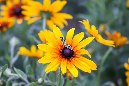 The caterpillar of the Papilio machaon butterfly sitting on the yellow rudbeckia flower or black-eyed susan plant