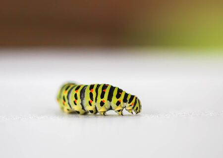 The caterpillar of the Papilio machaon butterfly close up