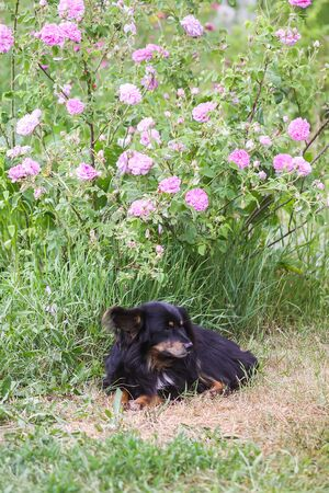 Funny mongrel black dog outdoors in summer garden with rose flowers in countryside 스톡 콘텐츠