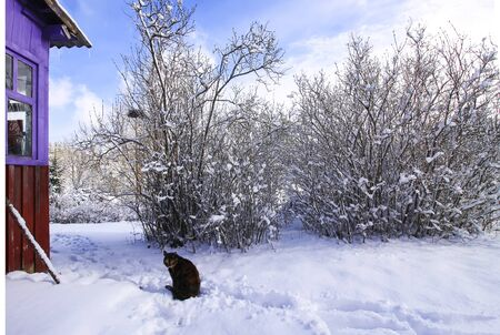 Active domestic cat sitting on snow near the rural house building