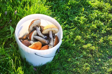 Freshly picked edible the orange-cup birch mushrooms in a white plastic bucket on green grass