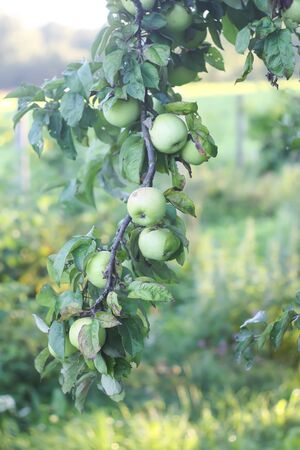 Green apples on a tree branch. Fruits ready to be harvested in summer garden.