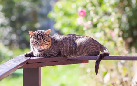 Contented grey striped young domestic cat is lying on the wooden railing on summer nature background 写真素材