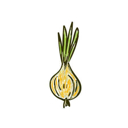 Whole onion with green feathers. Vector illustration 向量圖像