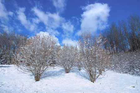 Winter landscape. Trees and snow covered fields in sunny day