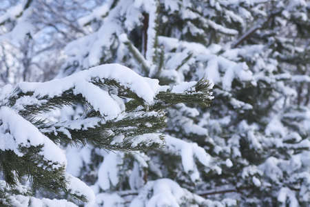 Snow covered spruce tree branches outdoors. Winter nature details.
