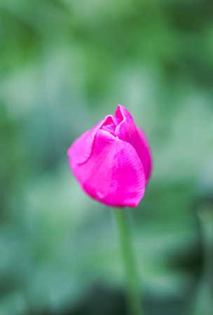 Beautiful spring pink tulip flowers growing in garden. 免版税图像