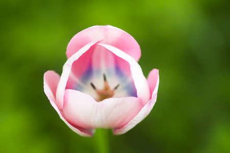 Beautiful spring tulip flowers growing in garden.