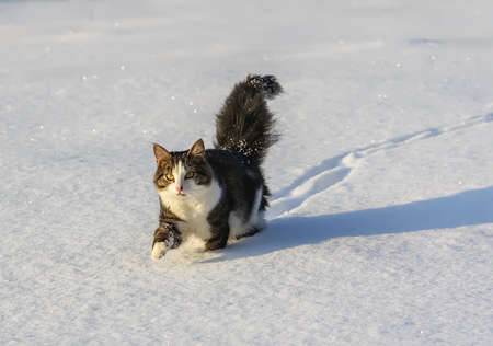 Black and white young active cat walking in snow.