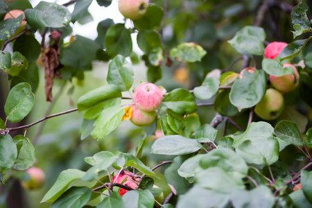 Red apples on tree branch in summer garden. Stock fotó