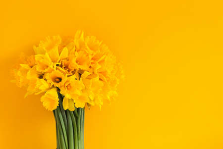 Beautiful bouquet of spring yellow narcisus flowers or daffodils on bright yellow background.