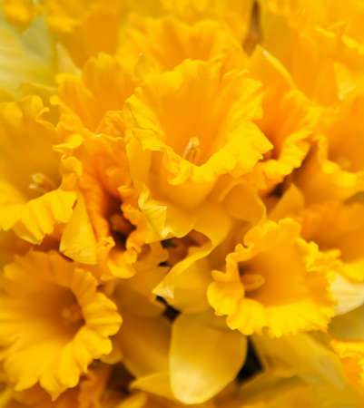 Beautiful bouquet of spring yellow narcisus flowers or daffodils. Stock fotó