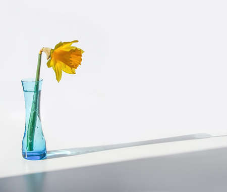 Yellow narcisus flower or daffodil plant in the blue glass vase on white background.