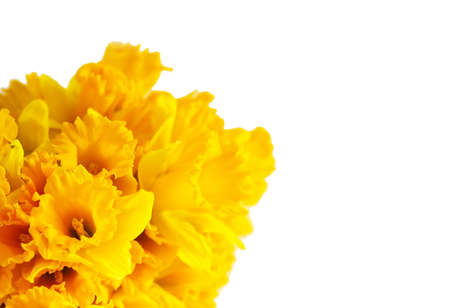 Beautiful bouquet of spring yellow narcisus flowers or daffodil plants on white background