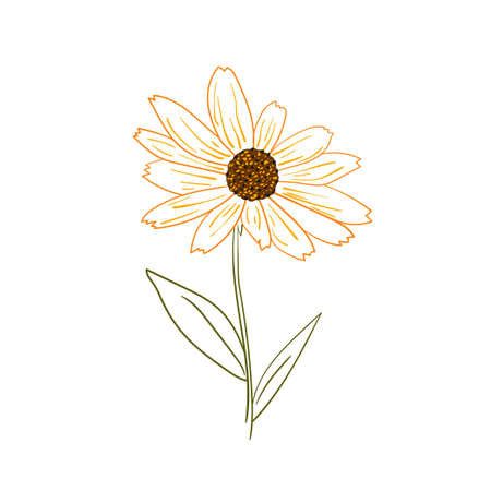 Vector illustration of the yellow rudbeckia flower on white background. Illusztráció