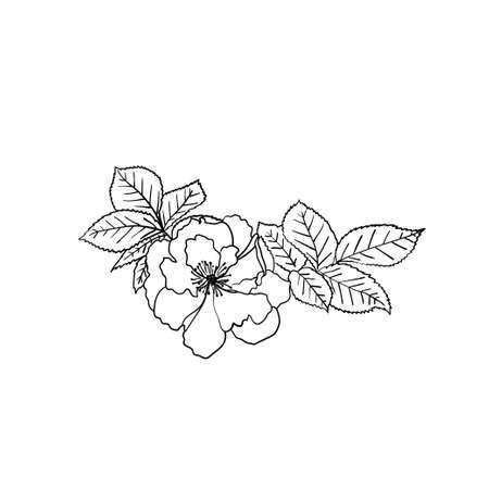 Wild rose with leaves. Vector sketch. Hand drawn illustration. Botanical element. Dogrose flower. 向量圖像