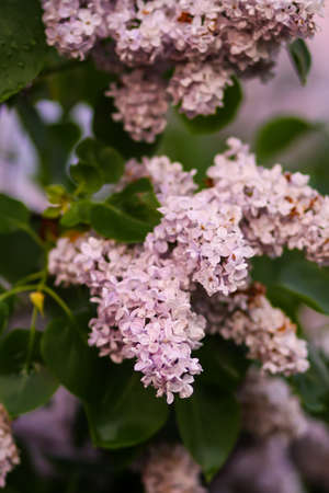 Syringa vulgaris blooming plant in soft sunset light. Fragrant purple lilac bush in soft sunset light in the spring garden in countryside.
