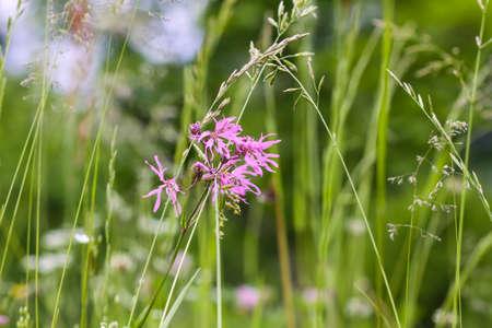 Coronaria or Lychnis flos-cuculi flower. Ragged-robin plant. Pink wildflowers on summer meadow.