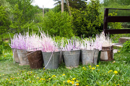 Potatoes before planting. Potato seedlings in metal buckets on farm yard prepared for planting in kitchen-garden Reklamní fotografie