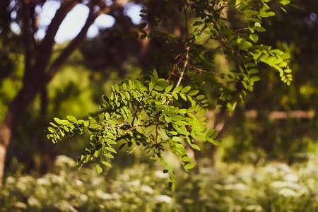 Beautiful white blooming acacia. Robinia pseudoacacia plant in summer garden. Reklamní fotografie