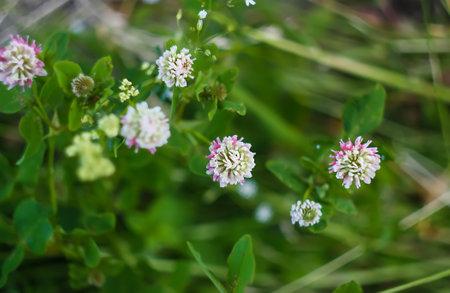 White clover flowers. Trifolium repens plants in summer garden. Reklamní fotografie