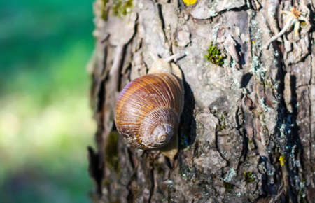 Little snail crawling on tree bark in summer garden. Helix pomatia. Reklamní fotografie