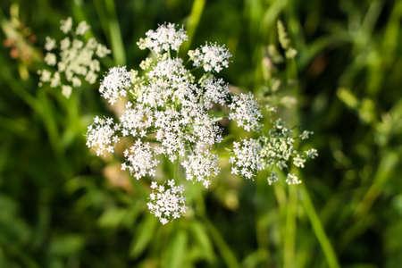 Aegopodium podagraria plant. The ground elder, Bishop's weed, goutweed, snow-on-the-mountain flower.