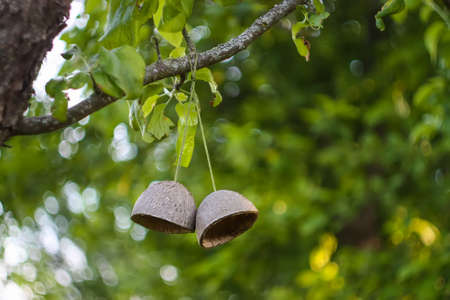 Coconut fruit shell hanging on a tree branch. Simple authentical decor in spring garden Reklamní fotografie