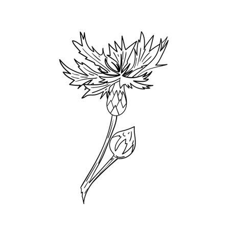 Cornflower. Graphical floral element.